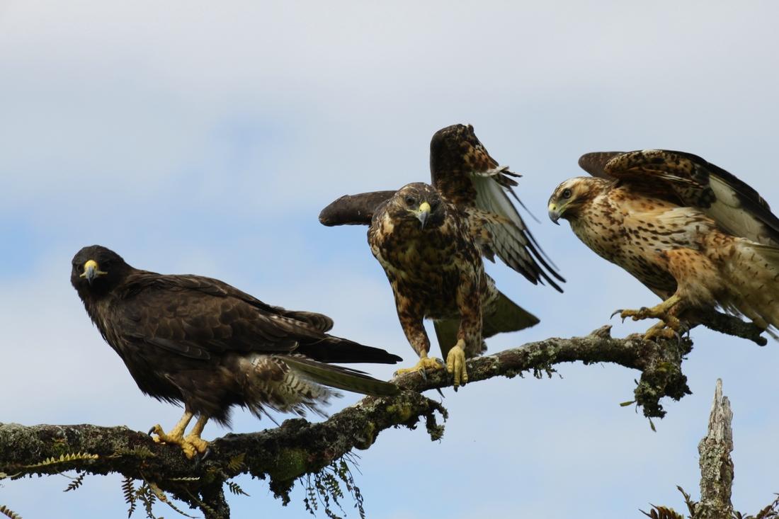 Grupo de Gavilánes de Galápagos, dos juveniles y un adulto (Buteo galapagoensis, Isla Isabela, Galápagos. Foto: Adriano Spielmann, 2012.