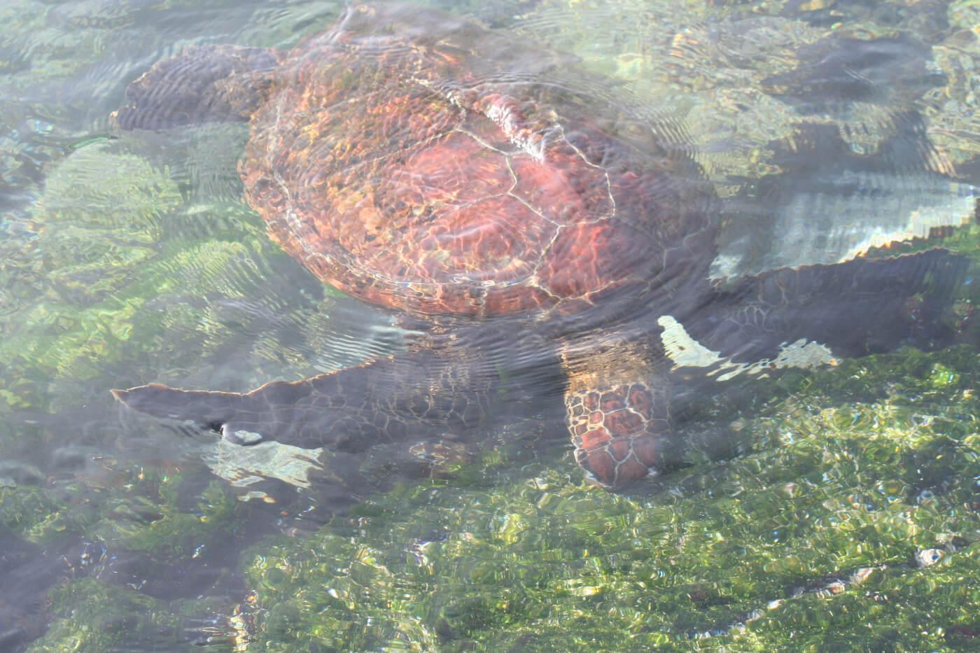 Chelonia mydas agassisi (Galapagos Green Turtle), Fernandina Island, Galapagos. Photo: Andreas Kelager, CDF.