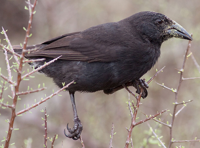 Male Common Cactus Finch, in Santa Cruz Island, Galapagos. Photo: CDF Archive.