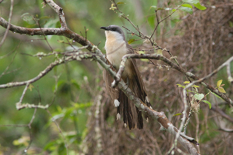 Dark-billed Cuckoo in Santa Cruz Island, Galapagos. Photo: CDF Archive.