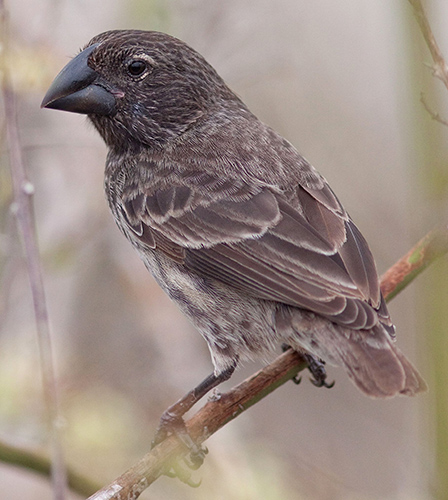 Large Ground Finch in Santa Cruz, Galapagos. Photo: Michael Dvorak, CDF.