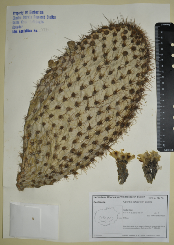Specimen of Opuntia echios var. echios in the CDRS Herbarium. Photo: CDF Archive, 2012.