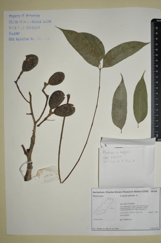 Specimen of Cedrela odorata in the CDRS Herbarium. Photo: Maria Fernanda Santillan, CDF Archive, 2012.