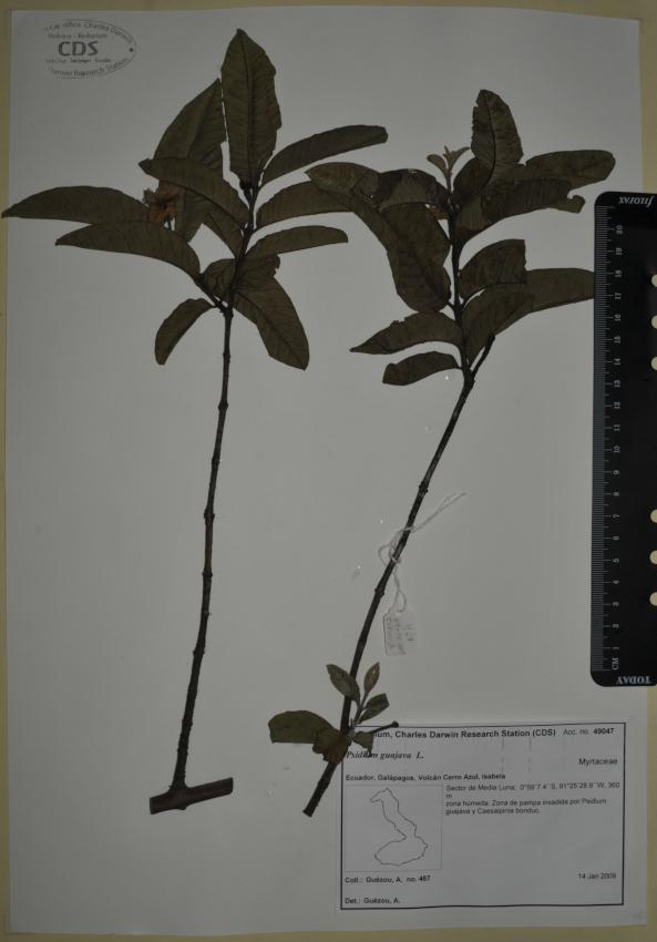 Specimen of Psidium guajava in the CDRS Herbarium. Photo: CDF Archive, 2012.