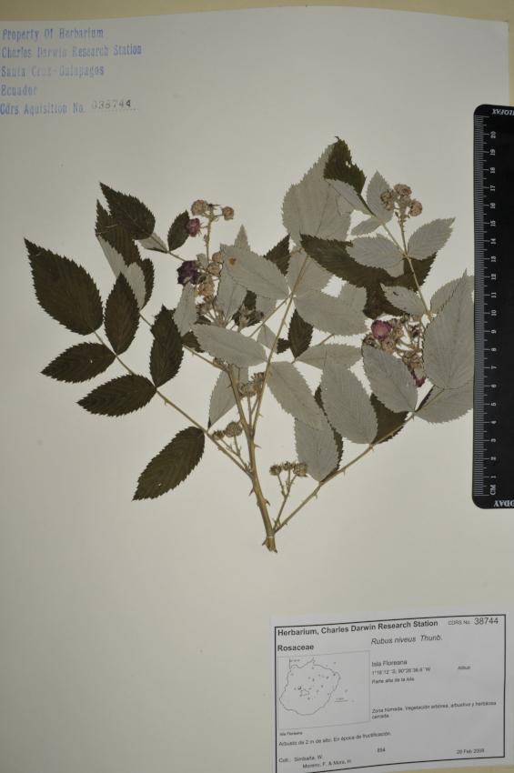 Espécimen de Rubus niveus en el herbario de la ECCD. Foto: CDF Archive, 2012.