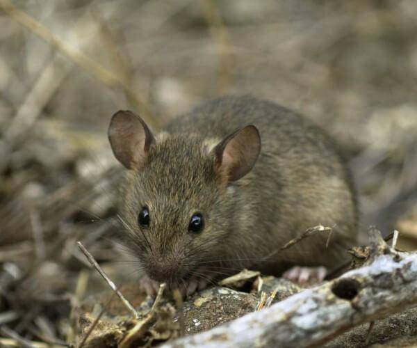 Ratón casero (Mus musculus). Foto: Heidi Snell, CDF.