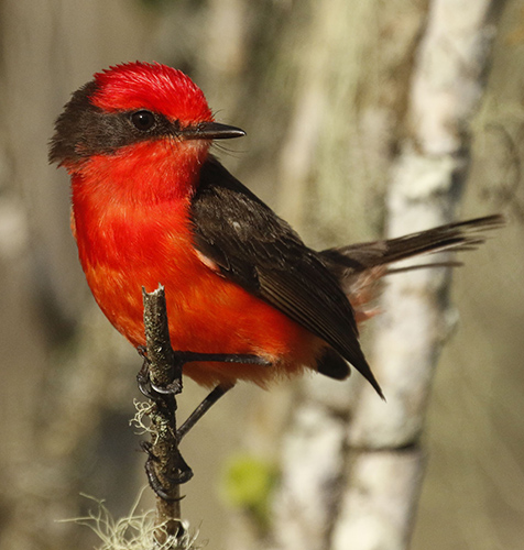 Galápagos Vermilion Flycatcher. Photo: Michael Dvorak, CDF.
