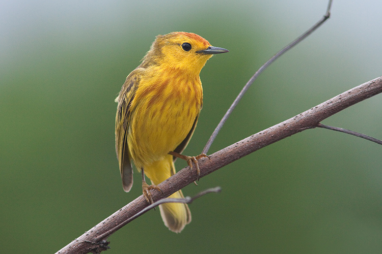 Yellow Warbler in San Cristóbal, Galapagos. Photo: CDF Archive.