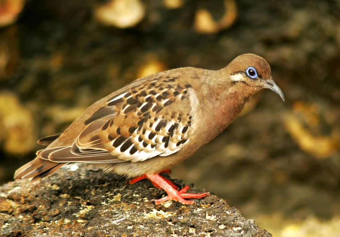 Zenaida galapagoensis, Genovesa Island, Galapagos. Photo: Paul McFarling, CDF, 2008.
