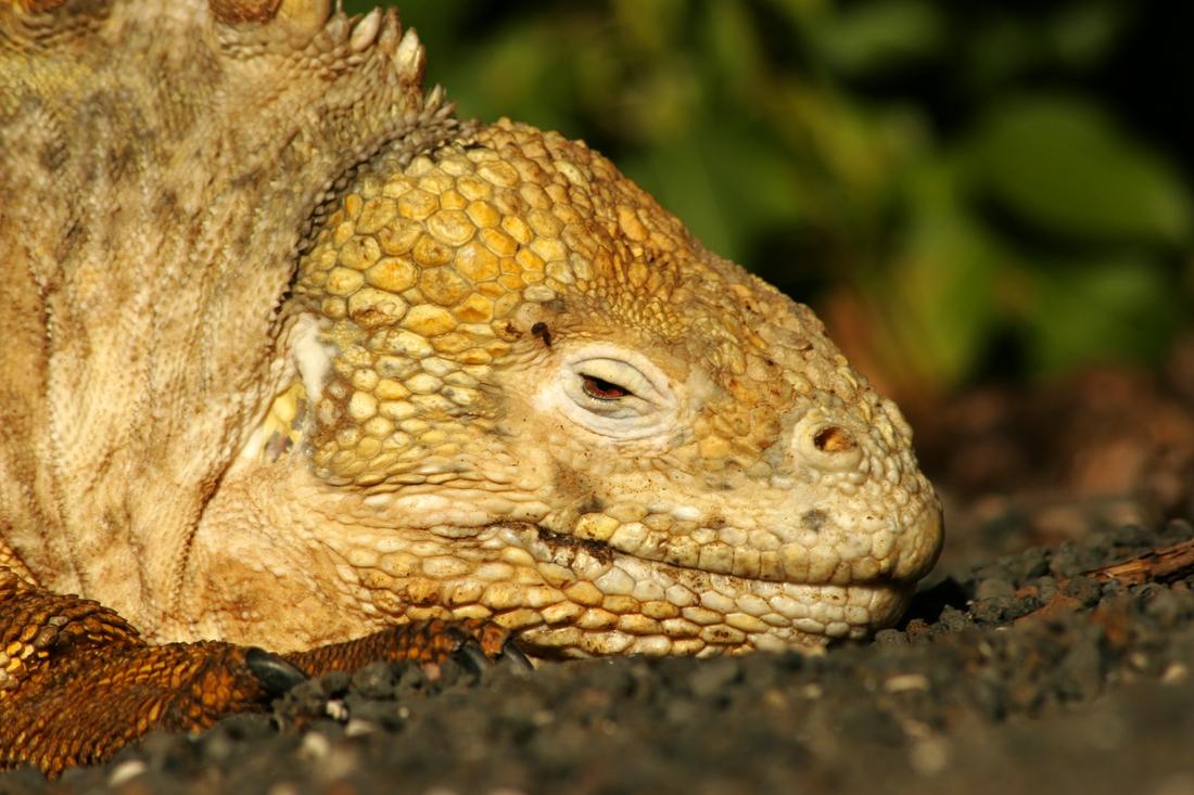 Conolophus subcristatus, Isla Isabela, Galápagos. Foto: Paul McFarling, CDF, 2008.