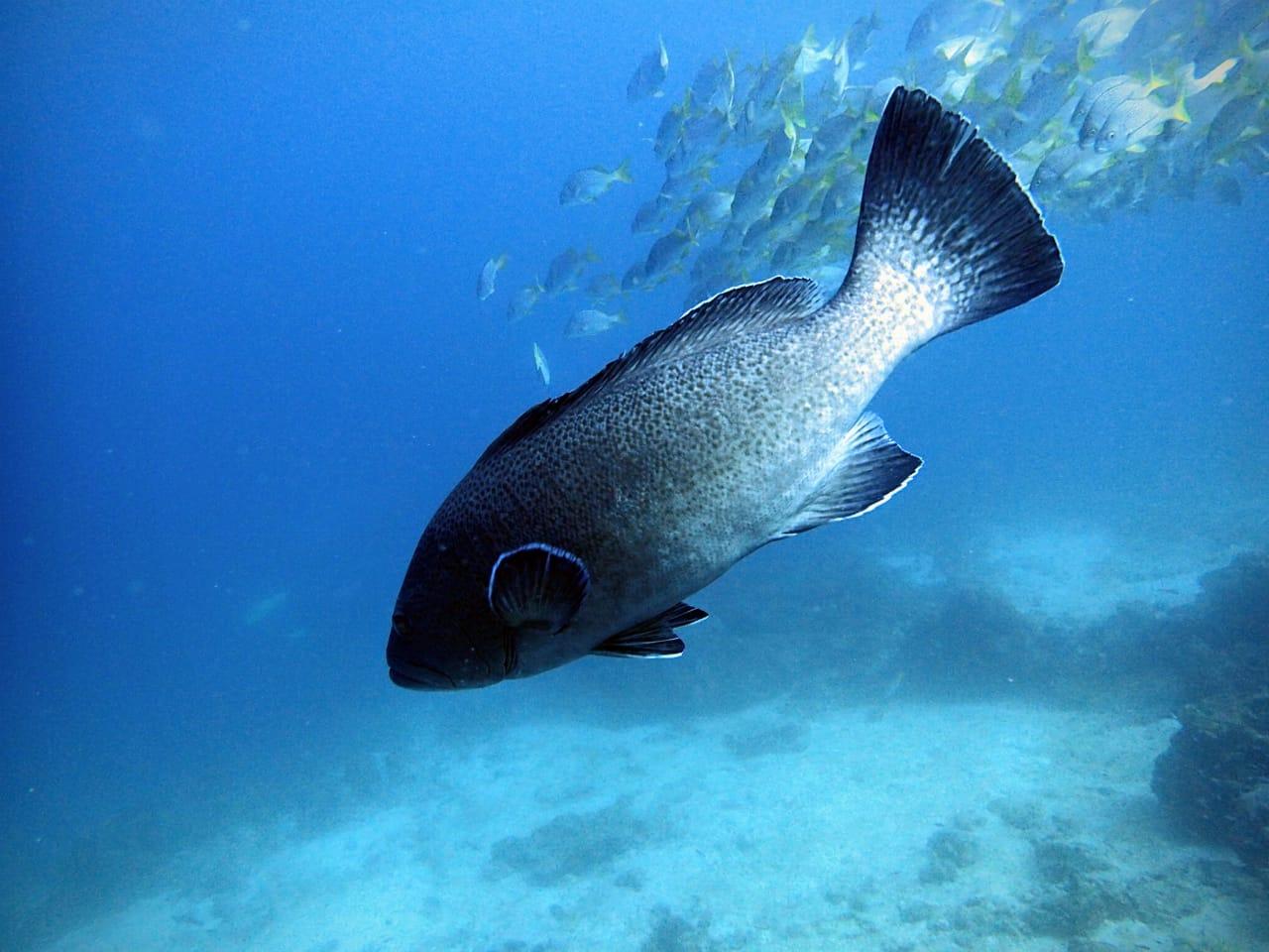 Bacalao (Mycteroperca olfax) cerca de la isla Floreana, Galápagos. Foto: Salome Buglass, FCD.