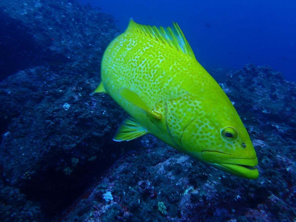 Bacalao (Mycteroperca olfax) cerca de la islas Darwin y Wolf, Galápagos. Foto: Salome Buglass, FCD.
