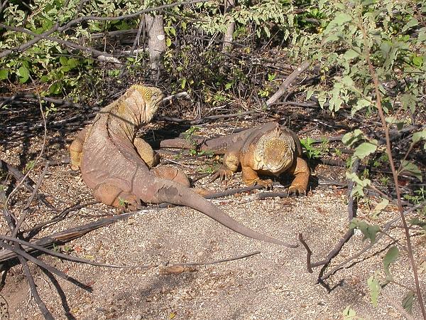 Conolophus subcristatus (Land Iguana), Galapagos. Photo: Paul Bungartz, CDF, 2006.