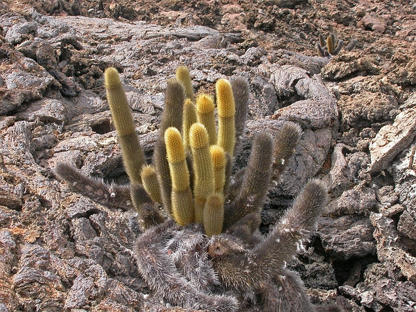 Brachycereus nesioticus (Lava Cactus). Photo: Frank Bungartz, CDF, 2006.
