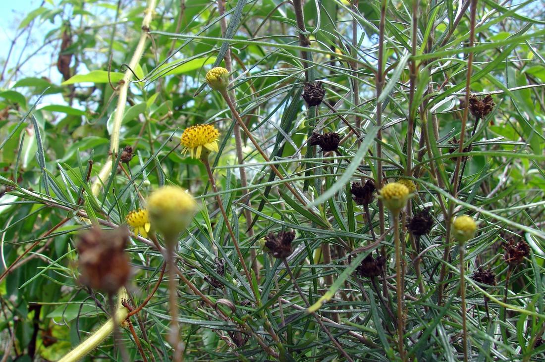 Macraea laricifolia. Photo: Patricia Jaramillo, Rachel Atkinson, Anne Guézou, CDF, 2006.