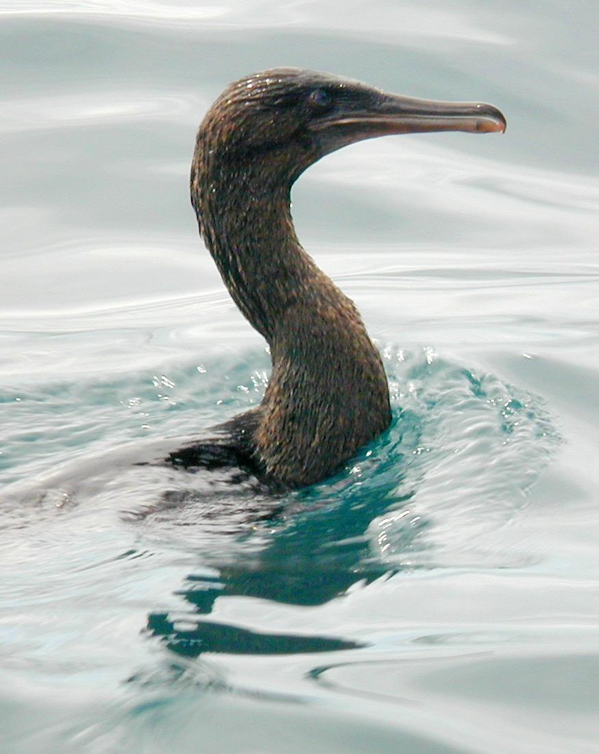 Phalacrocorax harrisi, Isla Isabela, Galápagos. Foto: Paul McFarling, CDF, 2002.