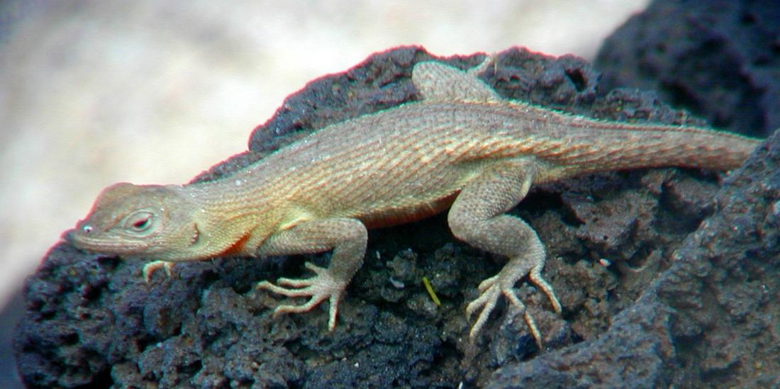 Microlophus bivittatus Peters, 1871, San Cristóbal Island. Photo: Paul McFarling, CDF, 2002.