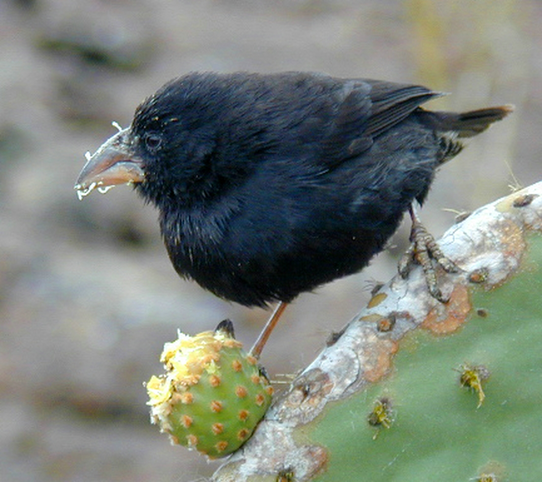 Geospiza conirostris, Genovesa Island, Galapagos. Photo: Paul McFarling, CDF, 2001.