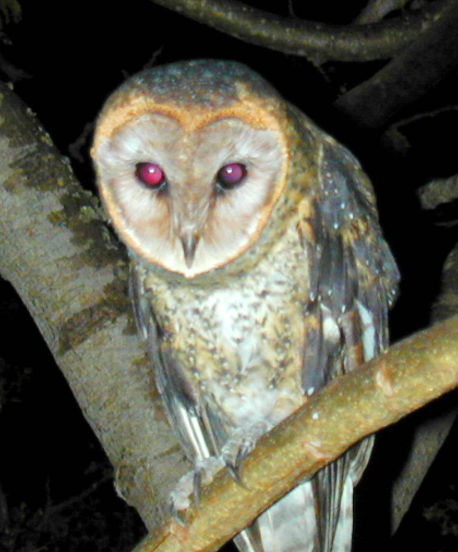 Tyto alba punctatissima, Santa Cruz Island, Galapagos. Photo: Paul McFarling, CDF, 2002.