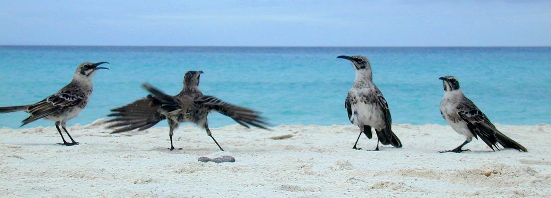 Mimus macdonaldi, Española Island, Galapagos. Photo: Paul McFarling, CDF, 2002.