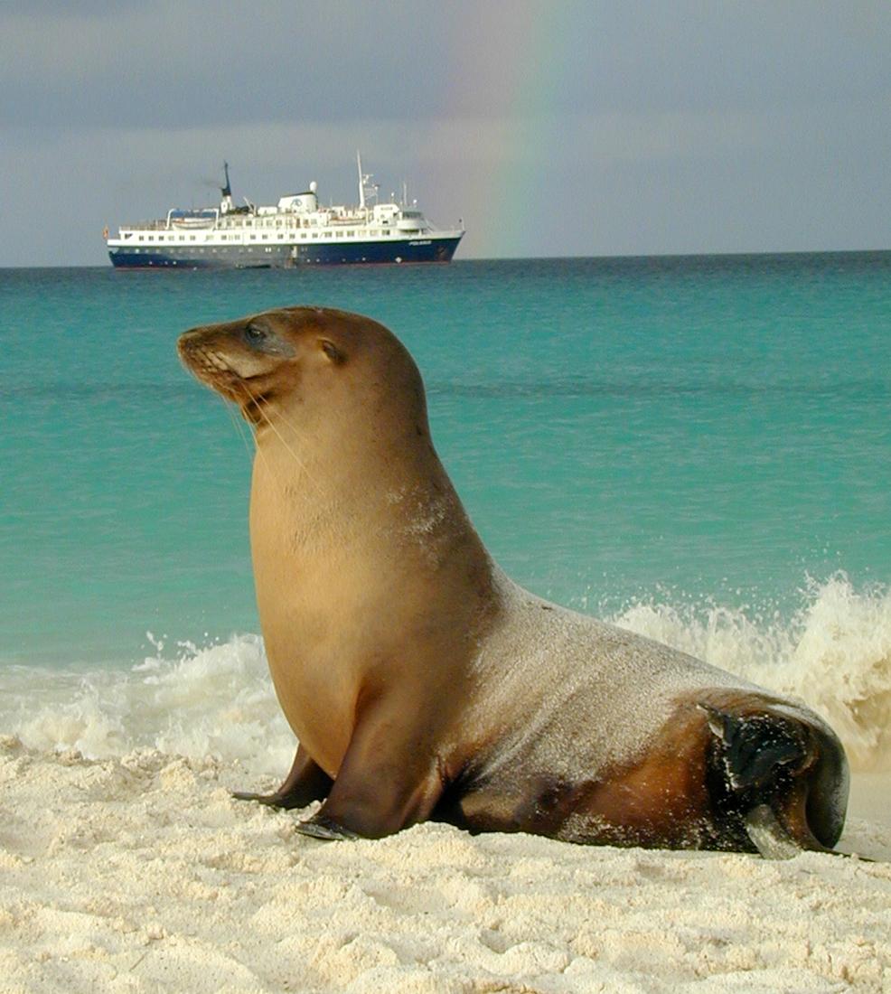 Zalophus wollebaeki, Isla Española, Galápagos. Foto: Paul McFarling, CDF, 2003.