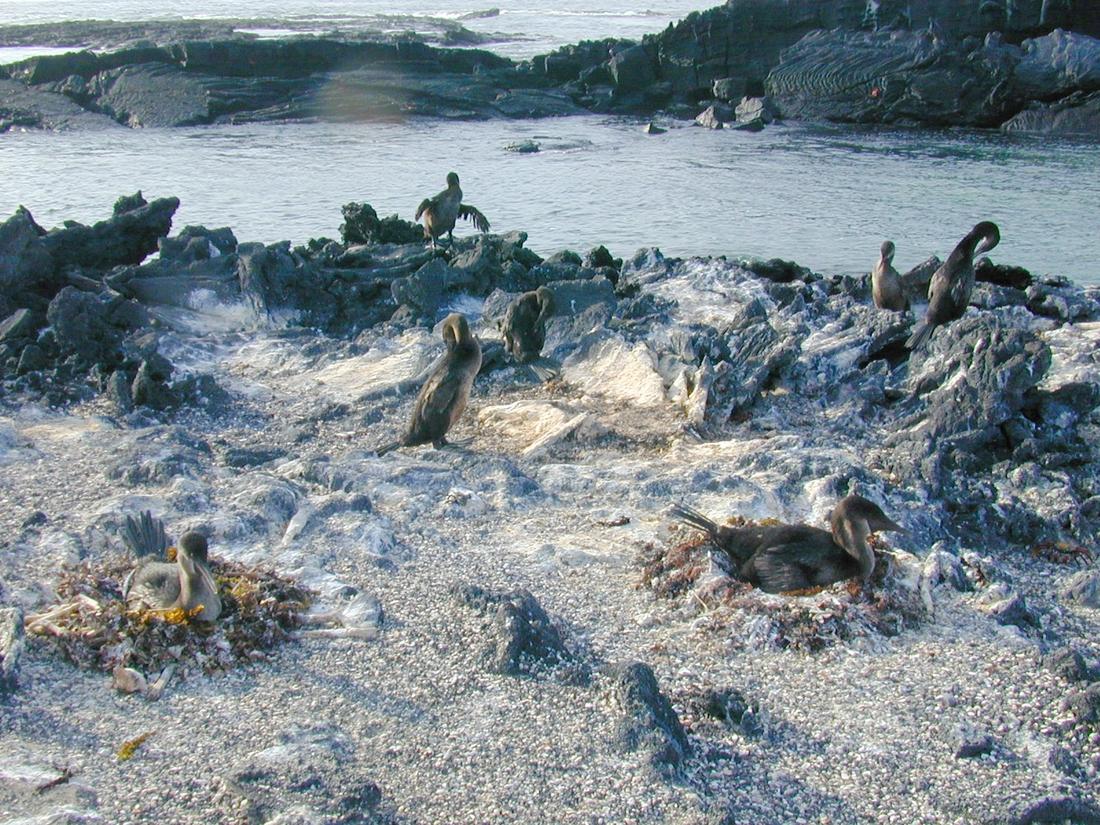 Phalacrocorax harrisi, Isla Fernandina, Galápagos. Foto: Paul McFarling, CDF, 2004.