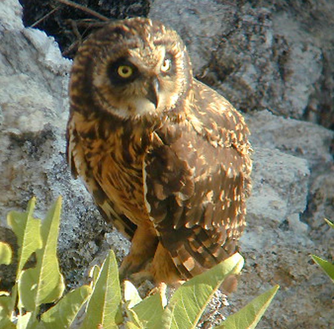 Asio flammeus galapagoensis, Genovesa Island, Galapagos. Photo: Paul McFarling, CDF, 2001.