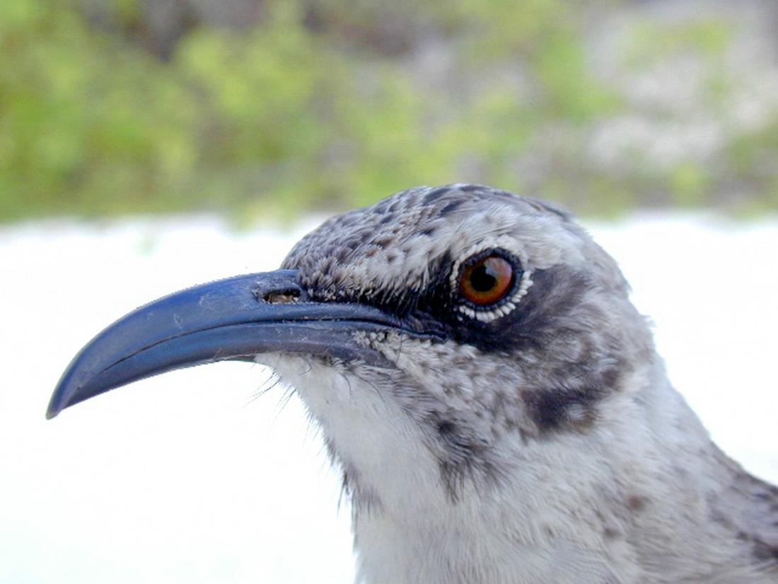 Mimus macdonaldi, Española Island, Galapagos. Photo: Paul McFarling, CDF, 2001.