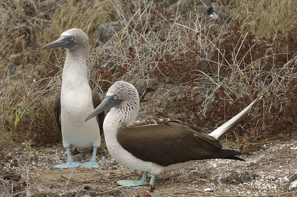 Blue-footed boobies at Punta Pit, San Cristóbal Island, Galápagos. Photo: Frank Bungartz, CDF, 2007.