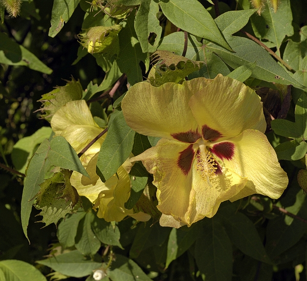 Gossypium darwinii, dry zone, San Cristóbal Island, Galápagos. Photo: Frank Bungartz, CDF, 2007.
