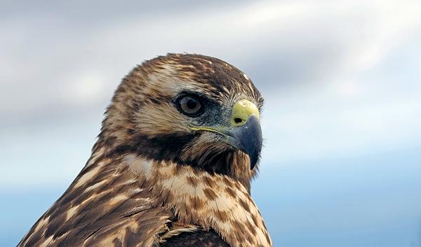 Galapagos Hawk (Buteo galapagoensis), Isabela Island, Galapagos. Photo: Frank Bungartz, CDF, 2007.
