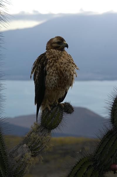 Gavilán de Galápagos (Buteo galapagoensis), Isla Isabela, Galápagos. Foto: Frank Bungartz, CDF, 2007.