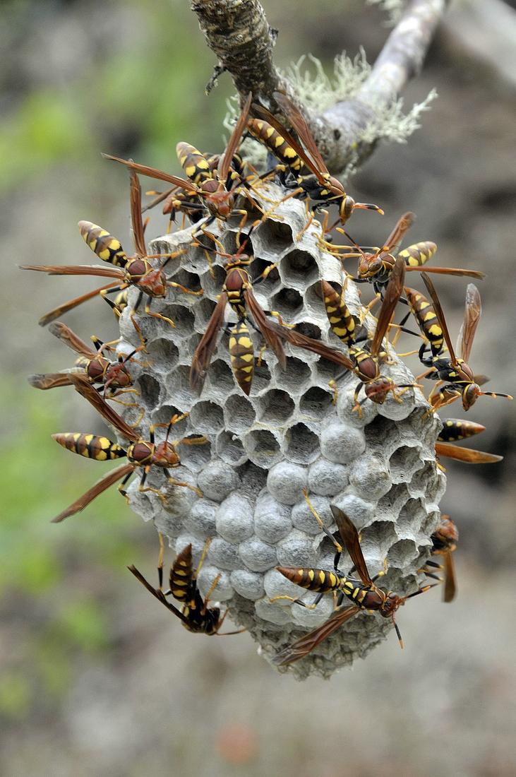 Wasp Nest (Polistes versicolor (Oliver, 1791)), Muro de las Lagrimas, Isabela, Galapagos. Photo: Frank Bungartz, CDF, 2008.