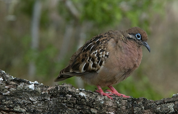 Galápagos Dove, on Pinta Island, Galapagos. Photo: Steve Blake, CDF, 2009.