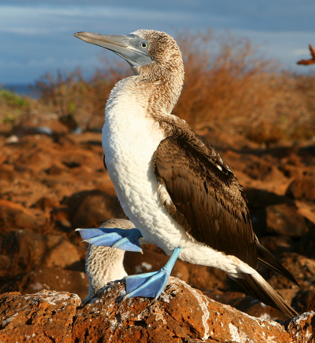 Sula nebouxii excisa, North Seymour Island, Galapagos. Photo: Paul McFarling, CDF, 2009.
