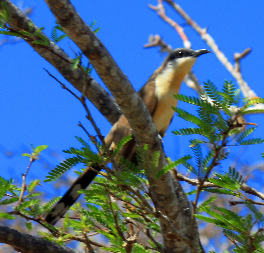 Coccyzus melacoryphus, Floreana Island, Galapagos. Photo: Paul McFarling, CDF, 2009.