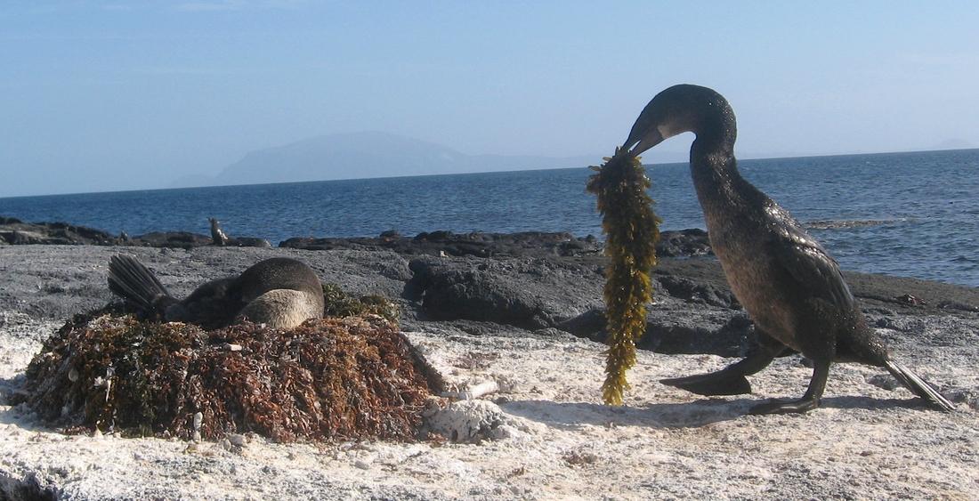 Phalacrocorax harrisi, Isla Fernandina, Galápagos. Foto: Paul McFarling, CDF, 2007.