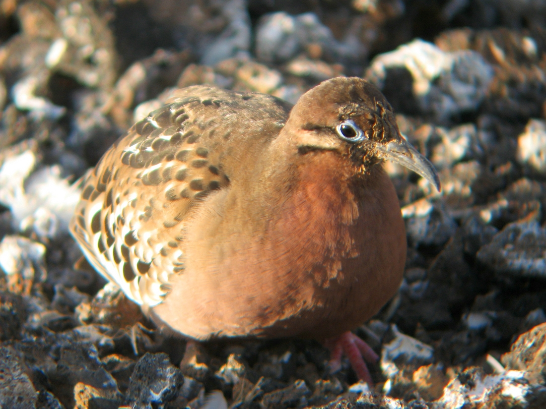 Zenaida galapagoensis, Genovesa Island, Galapagos. Photo: Paul McFarling, CDF, 2007.
