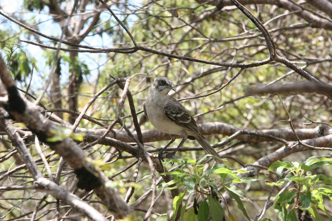Mimus melanotis, San Cristóbal Island, Galapagos. Photo: Paul McFarling, CDF, 2012.