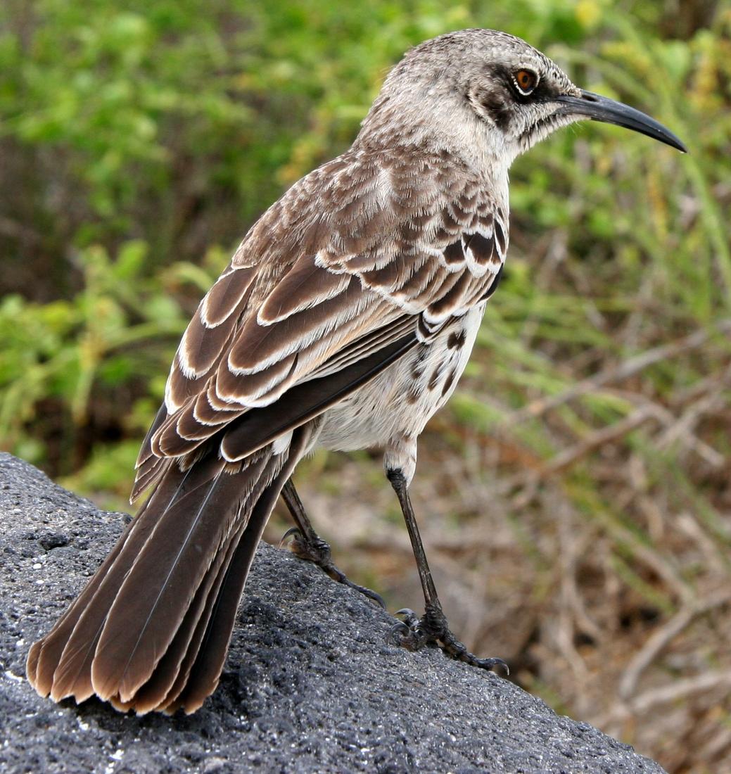 Mimus macdonaldi Ridgway, 1890, Española Island, Galapagos. Photo: Paul McFarling, CDF, 2008.