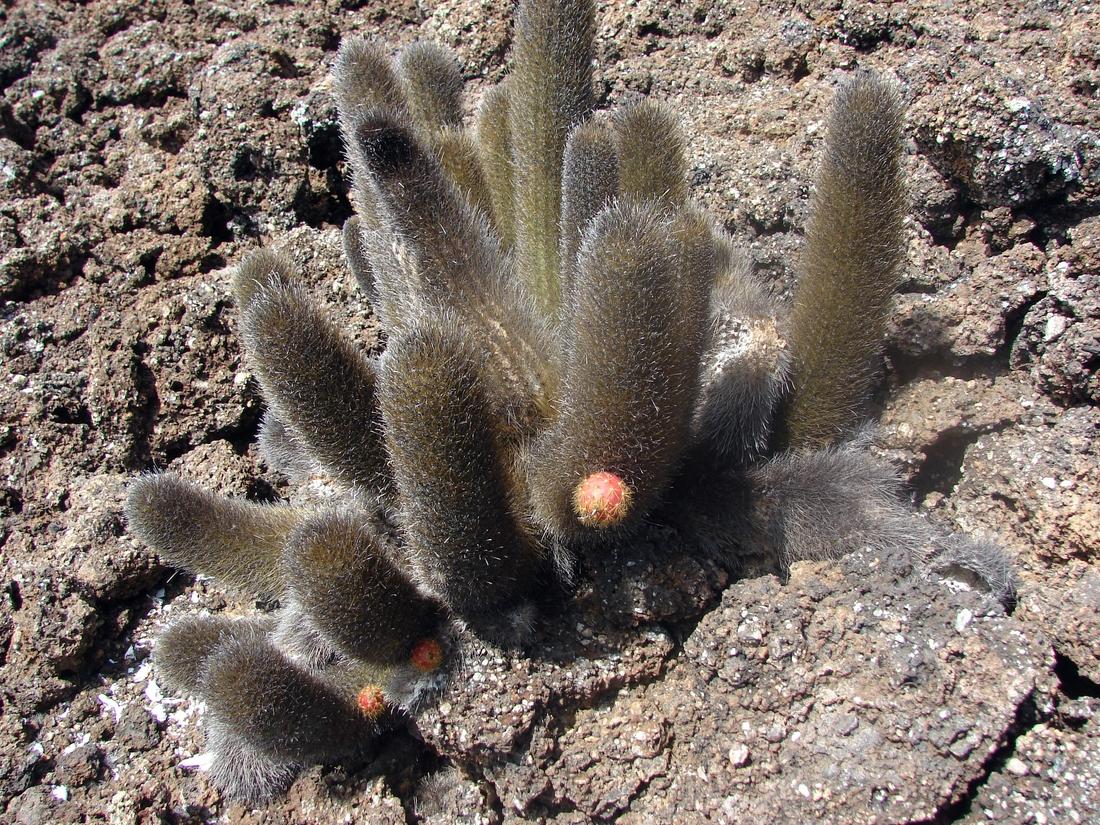 Brachycereus nesioticus. Photo: Patricia Jaramillo, Rachel Atkinson, Anne Guézou, CDF, 2006.