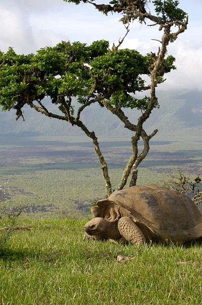 Geochelone vandenburghi (Galapagos Giant Tortoise), crater rim Alcedo. Photo: Frank Bungartz, CDF, 2006.