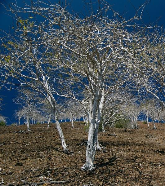 Open Bursera forest near Bahía Sullivan, Santiago. Photo: Frank Bungartz, CDF, 2006.
