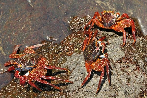 Grapsus grapsus (Sally Lightfoot Crab), coastal rocks, Puerto Villamil, Isabela Photo: Frank Bungartz, CDF, 2009.