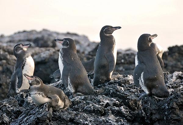 Spheniscus mendiculus (Pinguino de Galápagos) Las Tintoreras, Puerto Villamil, Isabela Foto: Frank Bungartz, CDF, 2009.