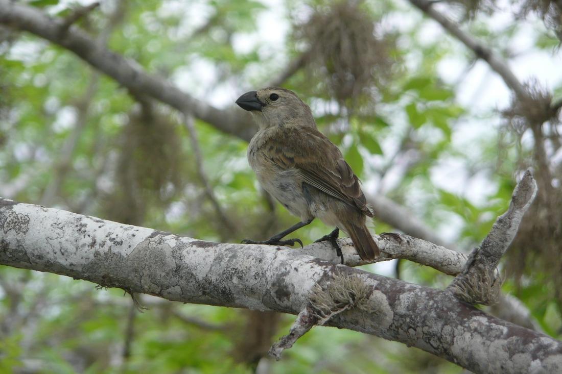 Camarhynchus psittacula, Pinta Island, Galapagos. Photo: Ruben Heleno, CDF, 2010.