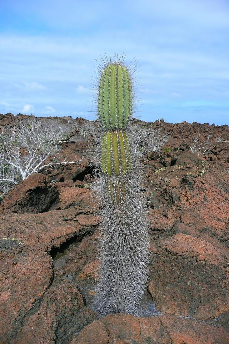 Jasminocereus thouarsii var. sclerocarpus, Fernandina Island, Galapagos. Photo: Ruben Heleno, CDF, 2010.