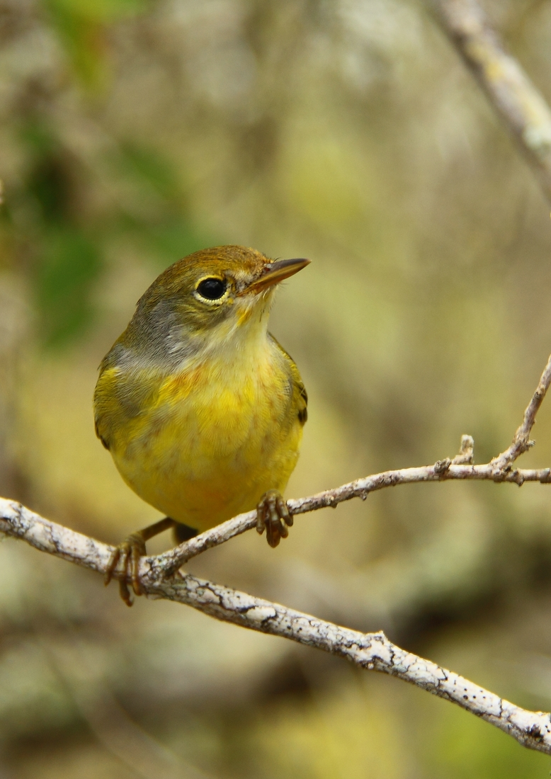 Yellow Warbler in San Cristóbal Island, Galapagos. Photo: Ruben Heleno, CDF, 2010.