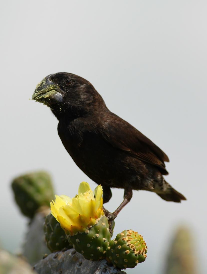 Geospiza magnirostris, Pinta Island, Galapagos. Photo: Ruben Heleno, CDF, 2011.