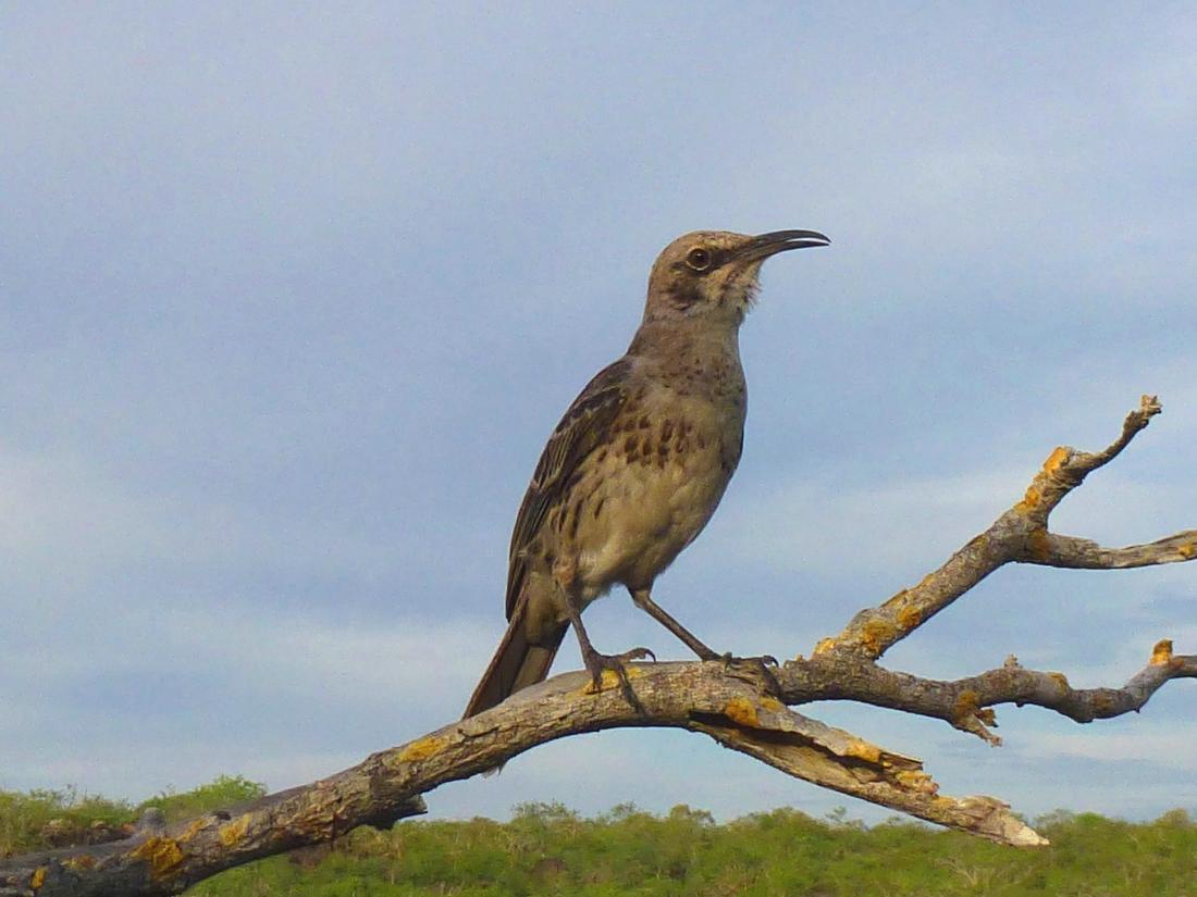 Mimus macdonaldi, Española Island, Galapagos. Photo: Ruben Heleno, CDF, 2012.